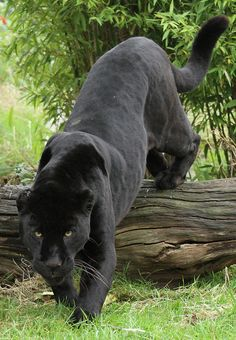 This black jaguar inspires me because it's majestic, powerful, and lethal. I think big cat's are awesome.