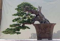 from the 2010 Indonesia National Bonsai Show