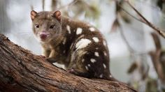 """A rebuff to the idea that we keep endangered species as pets by Greens Senator Larissa Waters, who stated, """"Suggesting that we can stop our extinction crisis by keeping native animals as pets, while dismissing national parks flies in the face of the scientific evidence."""""""