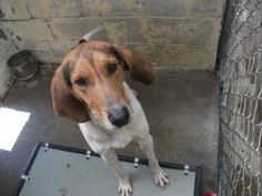 Walker is an adoptable Treeing Walker Coonhound Dog in Frankfort, KY. Walker is a handsome guy that came to us as a stray. He is a friendly dude that will need a fenced in yard since he is very much a...