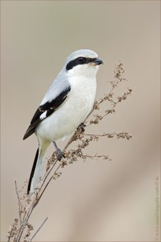 The Loggerhead Shrike - Lanius ludovicianus, is a passerine bird endemic to north America .