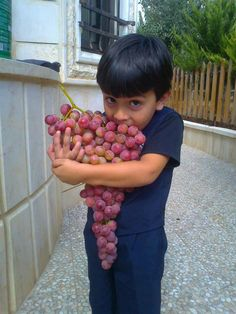 WOW...!! the most delicious grapes in the world ...Hebron grapes. . . #Israel