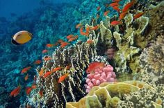 Tropische Fische und Steinkorallen im Roten Meer, Ägypten