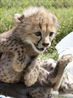 Cheetah cub quintuplet at the National Zoo's Smithsonian Conservation Biology Institute :)