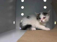 TO BE DESTROYED 6/24/14 ** BABY ALERT! ONLY 9 WEEKS OLD! Manhattan Center  My name is SCHATZI. My Animal ID # is A1003809. I am a female white and brn tabby domestic sh mix. The shelter thinks I am about 9 WEEKS old.  I came in the shelter as a STRAY on 06/19/2014 from NY 10035. I came in with Group/Litter #K14-182541.