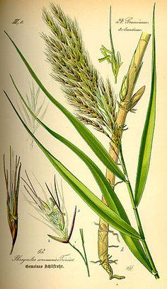 Phragmites est un genre de plantes herbacées de la famille des Poaceae, sous-famille des Arundinoideae. Le genre comprend quatre espèces dont une comportant trois sous-espèces. Certaines de ses espèces sont appelées « roseaux des marais »
