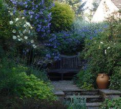 Abutilion vitifolium by the oak seat at Bide-a-wee Cottage