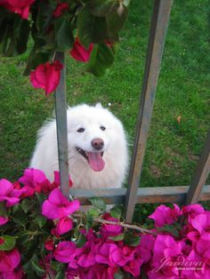 La belleza hecha perro. Pretty In Pink, Husky, Dogs, Animals, Beauty, Animales, Animaux, Doggies, Animal