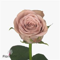 Cappuccino brown rose