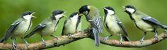Vogels op tak - jonge koolmezen / great tit (Vogelbescherming)
