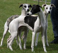 Whippets The one on the right looks just like my Lucky. Greyhound Art, Italian Greyhound, Pet Dogs, Dogs And Puppies, Dog Cat, Purebred Dogs, Whippets, Hounds Of Love, Whippet Dog