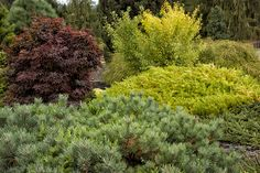 mixed foliage, evergreen shrubs, conifers at Buchholz & Buchholz