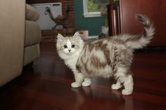 RagaMuffin Breeder of RagaMuffin kittens and RagaMuffin cats for sale. Ragamuffin Kittens, Kittens Cutest, Cats And Kittens, Kitten For Sale, Cats For Sale, Fancy Cats, We Fall In Love, Cat Breeds, Cat Lady