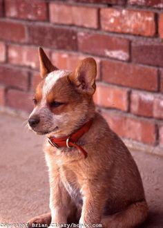 Australian Red Heeler puppy.