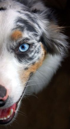 Australian Shepherd (Blue Merle) Those eyes are so pretty. Baby Dogs, Pet Dogs, Dogs And Puppies, Dog Cat, Corgi Puppies, Chihuahua Dogs, Weiner Dogs, Australian Shepherd Husky, Australian Shepherd Dogs