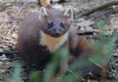 La marta es un animal de la familia de los mustélidos (un tipo de mamíferos al que pertenencen los hurones y las comadrejas, para que te hagas una idea de su apariencia).