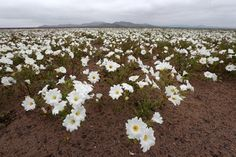 BBC News. Flowers are blooming in the Atacama desert in northern Chile after unusual rainfall in the region.
