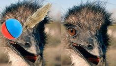 Emus Play With a Weasel Ball Toy
