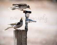*******DIGITAL INSTANT DOWNLOAD*******  This is an original photograph of a pair of thirsty Noisy Miners, taken by EVM Photography.  This file