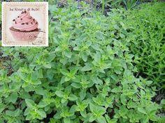 """oggi conosciamo l' origano In assoluto una delle mie erbe aromatiche preferite , infatti ha le """" radici fisse"""" sul mio terrazzo insieme a rosmarino , timo limone e rucola!!!"""