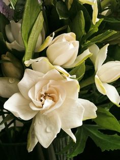 Taking care of gardenia plants requires a lot of work, as they are quite finicky when their growing requirements are not met. This includes fertilizing gardenias. which you can find tips for here.