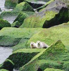 Harbor Seals visiting the rocks of the Chesapeake Bay Bridge-Tunnel..