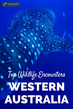 15 of the best wildlife encounters in Western Australia. From swimming with whale sharks to taking selfies with quokkas, these travel experiences should be on your Australia bucket list! | Blog by The Planet D: Canada's Adventure Travel Couple