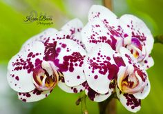 White/Purple Orchid Still Photography, Purple Orchids
