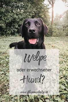 Hunde Adoption: Welpe oder erwachsener Hund? Welche Vor- und Nachteile gibt es? Wie solltest du dich entscheiden? #hund #adoption #welpe #ratgeber #hilfe #hundeadoption Adoption, I Like Dogs, Labrador Retriever, Dog Cat, Cats, Animals, Halter, Sweet, Big Dogs