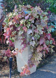 """~Heuchera """"Redstone Falls' (Coral Bells) - Trailing Coral Bells!~"""