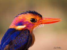 African Pygmy Kingfisher - Bob Hobbes