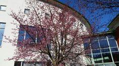 Idag slår körsbärsträden ut #körsbärsblom #cherry #blossom