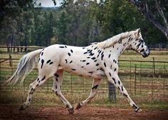 Sartor's Supermodel - graded imported Knabstrupper stallion at stud in NSW, Australia - Cayuse Sportaloosas - Cayuse Sportaloosas