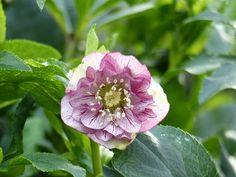L'hellébore orientale double picotée, une vraie fleur-bijou de la pépinière Promesse de Fleurs