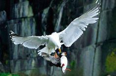 El ataque de una gaviota a un frailecillo fue captado por la cámara de Amanda Hayes, que obtuvo con la imagen el premio a la major instantánea de comportamiento animal de los British Wildlife Photography Awards 2012.