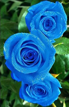 Blue Rose, the symbol of the unconquerable - The Call Of Nature {Flowers{}Flores} - Blumen Beautiful Flowers Wallpapers, Beautiful Rose Flowers, Rare Flowers, Exotic Flowers, Amazing Flowers, Beautiful Gardens, Tropical Flowers, Purple Flowers, Lilies Flowers