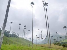 Wax palms or palma de cera is Colombia's national tree and the world's tallest palms. These palms grow exclusively in the high-altitude valley Oasis, Travel Around The World, Around The Worlds, Pyramids Of Giza, Palmiers, Tree Sculpture, Palm Trees, Cool Pictures, Random Pictures