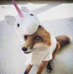 Yuki, Unicorn or fox? Unifox? Focorn…? Or maybe…...