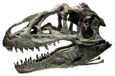 Crâne d'Allosaurus.