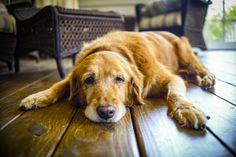 5 astuces pour prendre soin d'un vieux chiennoté 3.8 - 6 votes On estime que la vieillesse se produit autour de la septième année pour les grands chiens et autour de la dixième pour les plus petits, même si des facteurs tels que la génétique, le poids ou les conditions de vie peuvent avoir une … More
