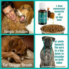 Simple Solution for Doggie Breath 1 drop Peppermint essential oil Bad breath is not a mouth issue in your dog but instead a stomach issue. Peppermint will not only help deodorize your dog's breath but will also cleanse the intestines and aid in digestion. Only use therapeutic grade young living oils on your pets. #youngliving #essentialoils