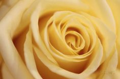 Close Up of a Pale Yellow Rose Photographic Print by Joe Petersburger at AllPosters.com