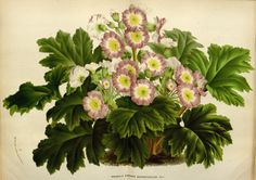 Primula sinensis Sabine ex Lindl. Botanical Illustration, Botanical Prints, Impressions Botaniques, Horticulture, Floral Wreath, Wreaths, Vintage Art, Europe, Plants