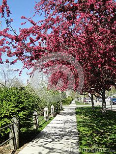 Blooming crab apple trees in Spring: Boise, Idaho (City of Trees.) ©Photo copyright by Marty Nelson. Photographer website: http://www.dreamstime.com/uploads