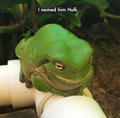 Hulk The Frog - - - all hail hypno-toad