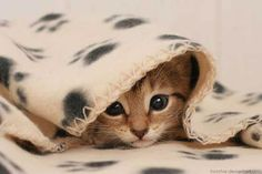 Gatinho debaixo da coberta