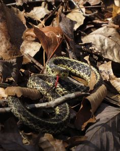 """Sam Calhoun on Instagram: """"Our non-furry friends are out, which means off trail adventures are wrapping up here quick.  Nice to see a garter snake, it's not one I…"""""""