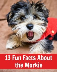 Fun Facts About the Morkie. So untrue over half of these aren't correct. My Morkie absolutely loves children as young as two!