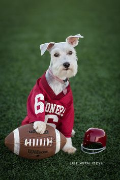 OU Sooner Boomer. Football dog. Life with Izzy.  Miniature Schnauzer.