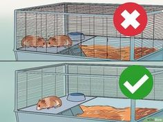 How to Care for a Hamster. There are several kinds of hamsters and most live for about years. Hamsters are nocturnal creatures, which means that they like to sleep all day. However, dwarf hamsters are crepuscular, meaning they are most. Dwarf Hamster Cages, Hamster Bin Cage, Robo Hamster, Hamster Life, Hamster Habitat, Best Hamster Cage, Robo Dwarf Hamsters, Hamster Toys, Hamster Names